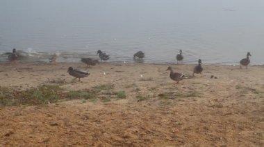 Ducks in foggy morning near the lake — Vídeo stock