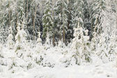 Snow covered trees in forest — Stockfoto