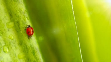 Ladybird on the leaves — Stock Video