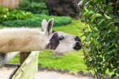 Llama eating bush from the paddock — Stock Photo