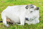 Cow graze in the meadow near to the farm — Stock Photo