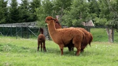 Llamas grazing in meadow — Стоковое видео