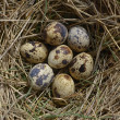 Closeup quail eggs in the nest - Stock Photo