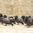 Pigeons walking — Stock Photo