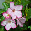 Impala Lily Adenium — Stock Photo