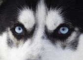 Close up on blue eyes of a dog — Stock Photo