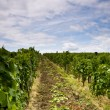 Vineyard and blue sky — Stock Photo