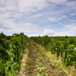 Vineyard and blue sky - Foto Stock