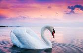 Swan som flyter på vattnet — Stockfoto