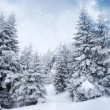 ������, ������: Firs in snow