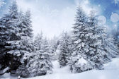 Firs in snow — Foto Stock