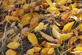 Autumn listowie na trawie — Zdjęcie stockowe