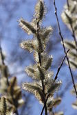 Willow catkin the first spring messenger — Stock Photo
