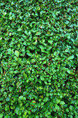 Background of green leaves. — Stock Photo