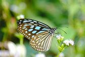 Blue glassy tiger butterfly on flower. (Ideopsis simillis persim — Stock fotografie
