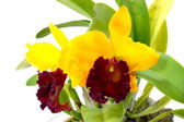 Orange and red orchid cattleya close up — Stock Photo