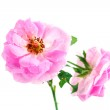 Beautiful pink rose with leaves isolated on white — Stock Photo