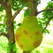 Big Jackfruit on tree. — Stock Photo #33551757