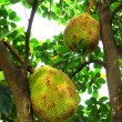 Big Jackfruit on tree. — Stock Photo