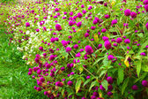 Globe Amaranth or Bachelor Button. (Gomphrena globosa L.) — Stock Photo