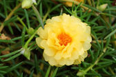 Portulaca flowers at the garden in morning — Stock Photo