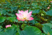 Beautiful white and pink lotus (Nelumbo nucifera) — Stock Photo