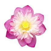 Lotus on isolate white background. — Stock Photo