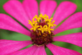 Zinnia flower (Zinnia violacea Cav.) — ストック写真