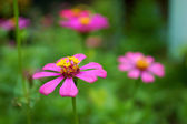 Zinnia flower (Zinnia violacea Cav.) — Stock Photo