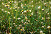 Margherita messicano (tridax procumbens l.) — Foto Stock