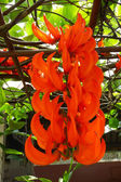 Orange flower of Newguinea Creeper, Red Jade Vine. ( Mucuna benn — Stock Photo