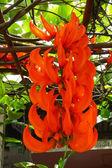 Orange flower of Newguinea Creeper, Red Jade Vine. ( Mucuna benn — Stock Photo