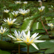 Water lily in the morning. — Stock Photo