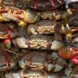 Serrated mud crab (Scylla serrata) tied and row display for sale — Photo