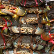 Serrated mud crab (Scylla serrata) tied and row display for sale — Stockfoto