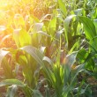 Corn field close-up at the sunset — Stock Photo #34179217