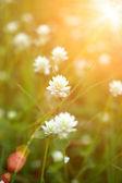 Mexican daisy (Tridax procumbens L.) — Stock Photo