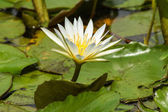 Blooming white water lily in the morning. — Stock fotografie