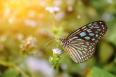 Blue glassy tiger butterfly on flower. (Ideopsis simillis persim — Stock Photo