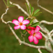 Desert rose on the tree. — Stock Photo