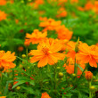 Orange cosmos flower. — 图库照片