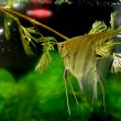 Stock Photo: Angelfish (Pterophyllum altum)