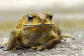 Yellow Toad on a cement floor. (Bufonidae) — Stock Photo