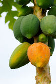 Papaya ripening on the tree. — Stock Photo