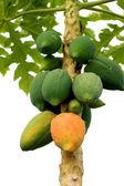 Papaya ripening on the tree. — Stock Photo