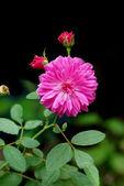 Fairy Rose. (Rosa chinensis jacq. var. minima Voss) — Foto Stock