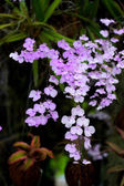 The Delicate Violet Ionopsis. — Stockfoto