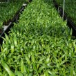 Palm seedlings in the nursery. — Stock Photo