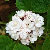 Roze clerodendrum (clerodendrum fragrans) bloem bloeien. — Stockfoto