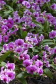 Violet orchid close up — Stock Photo